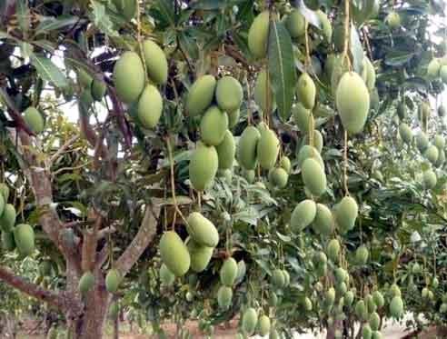 23 varieties of mangoes