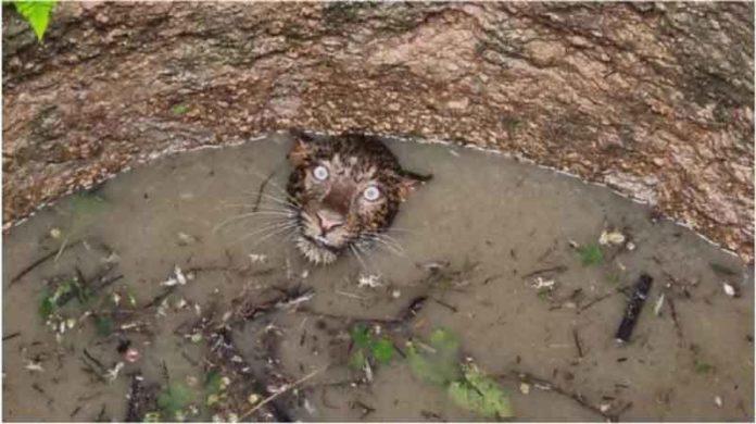 leopard fell in the deep well sachkahoon