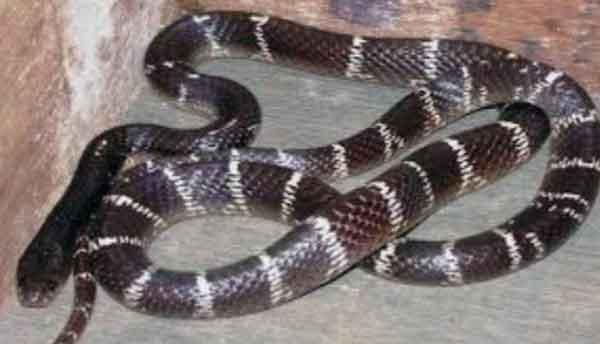 venomous snake sachkahoon