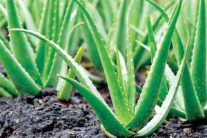 AloeVera Cultivation