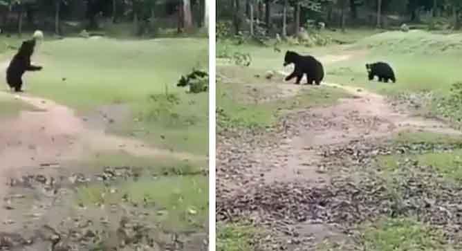 Bears Play Football