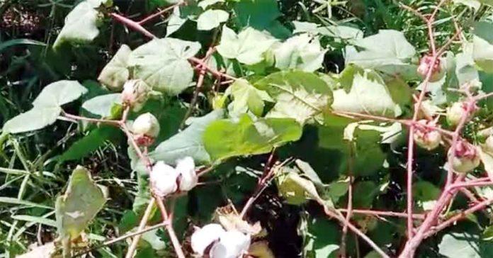 Cotton-Crop