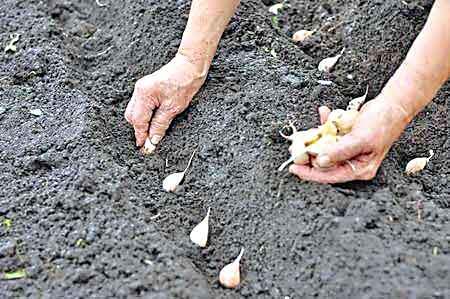 Farming of Garlic