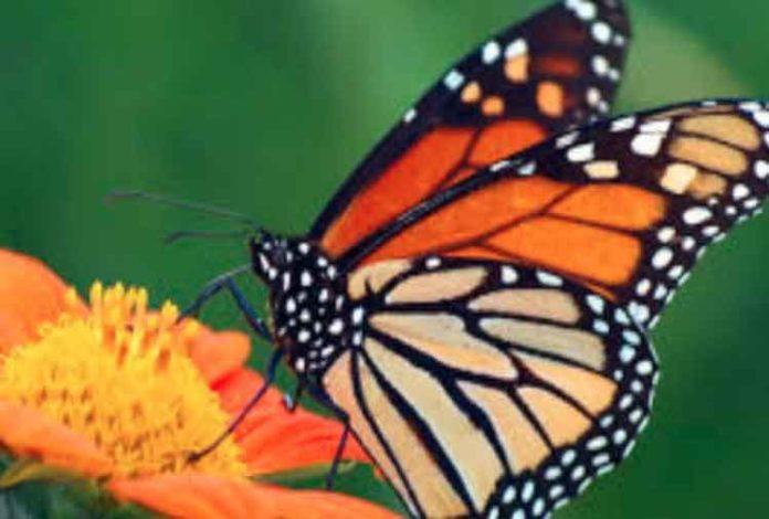 survey on butterflies sachkahoon